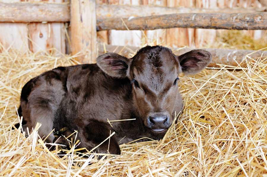 В первые сутки после появления на свет теленка необходимо поить парным моло