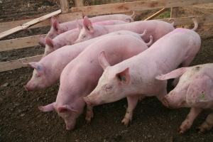 Свиньи-релиз-3
