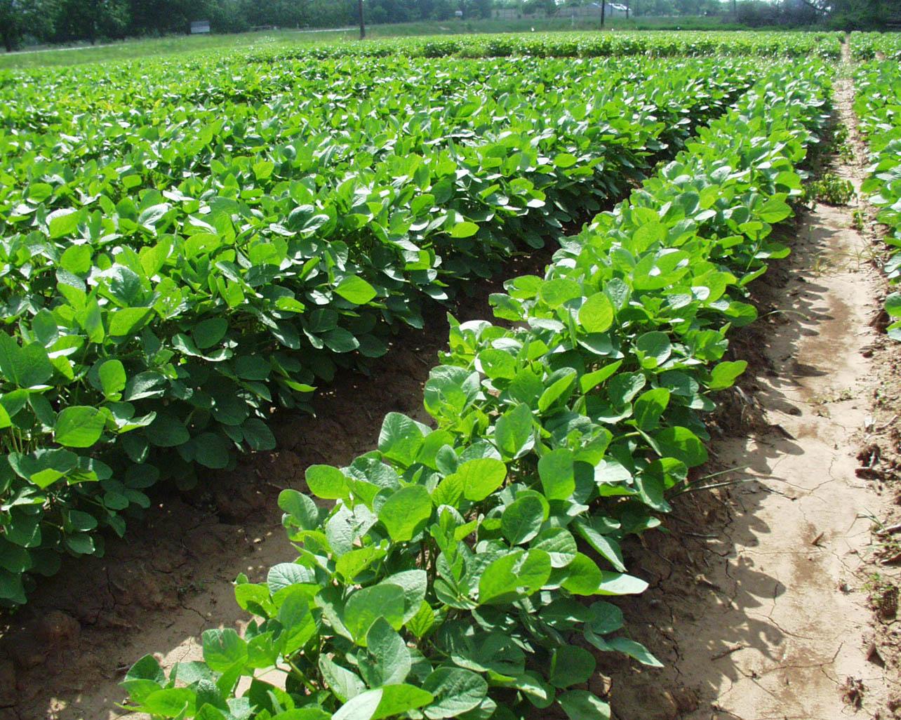 Выращивание сои урожайность